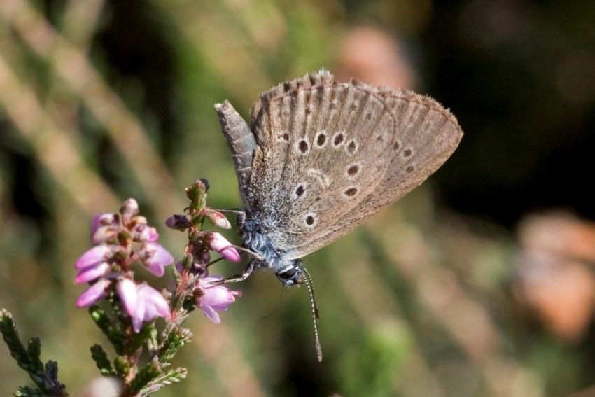 Močvarni plavac (Butterfly)