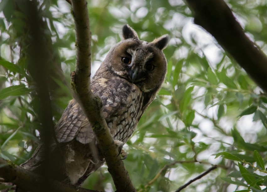 Mala ušara (Long-eared owl)