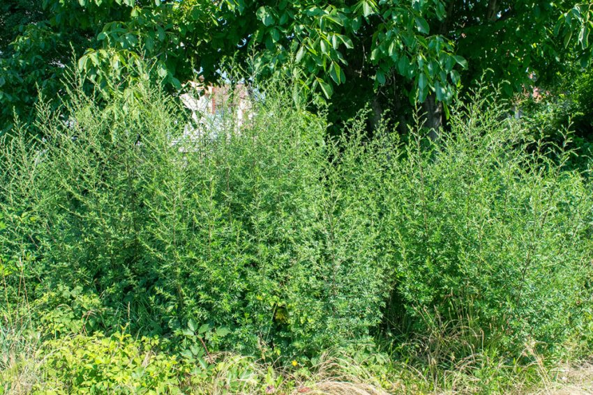Artemisia vulgaris, Divlji pelin