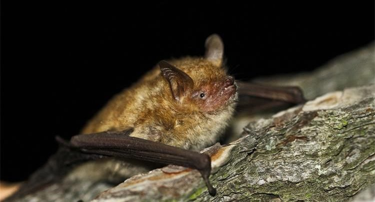 Vrste šišmiša (bat)