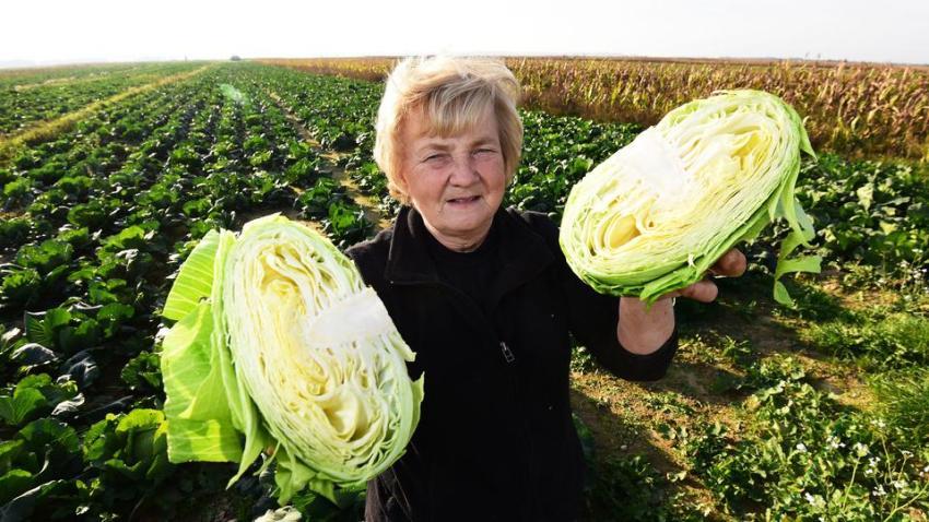 Cabbage from Varazdin - Varaždinsko zelje in Croatia