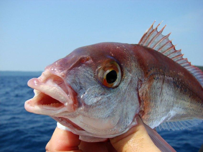 Arbun fish in Croatia