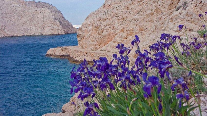 Iris croatica - National flower of Croatia