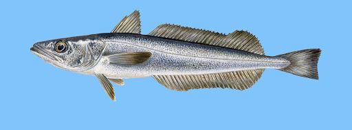 Oslić fish in Croatia