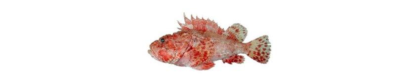 Skarpina fish in Croatia