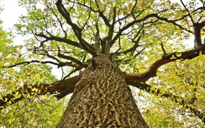 Slavonski hrast - Slavonian oak in Croatia