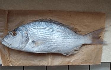 Zubatac fish in Croatia