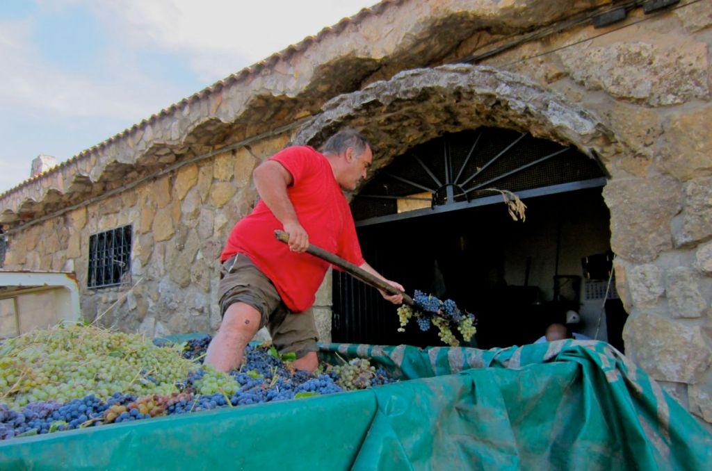 worker unloading grapes to make wine, el molar
