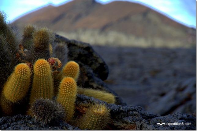 Cactus sur l'ile James,  Galapagos, Equateur.