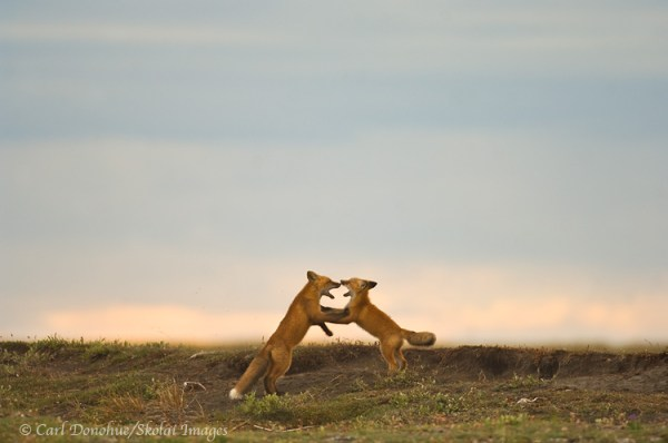 Red Fox kits photo, Red foxes playing, ANWR, Arctic ...