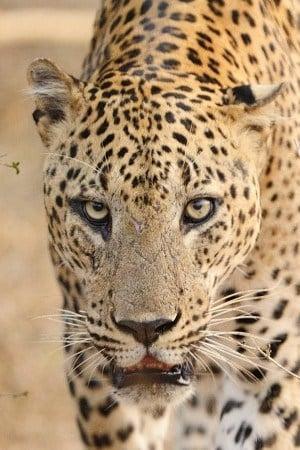 Leopard - Sri Lanka