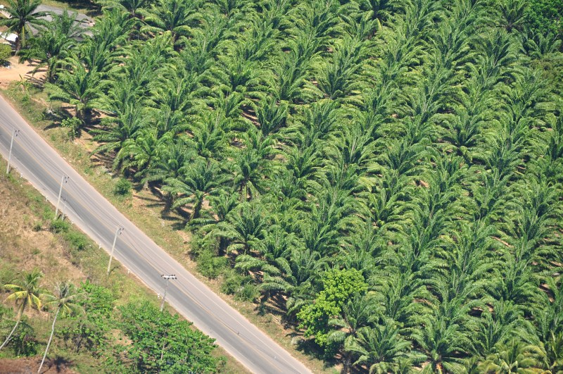 Oil palm plantation in the south of Thailand.