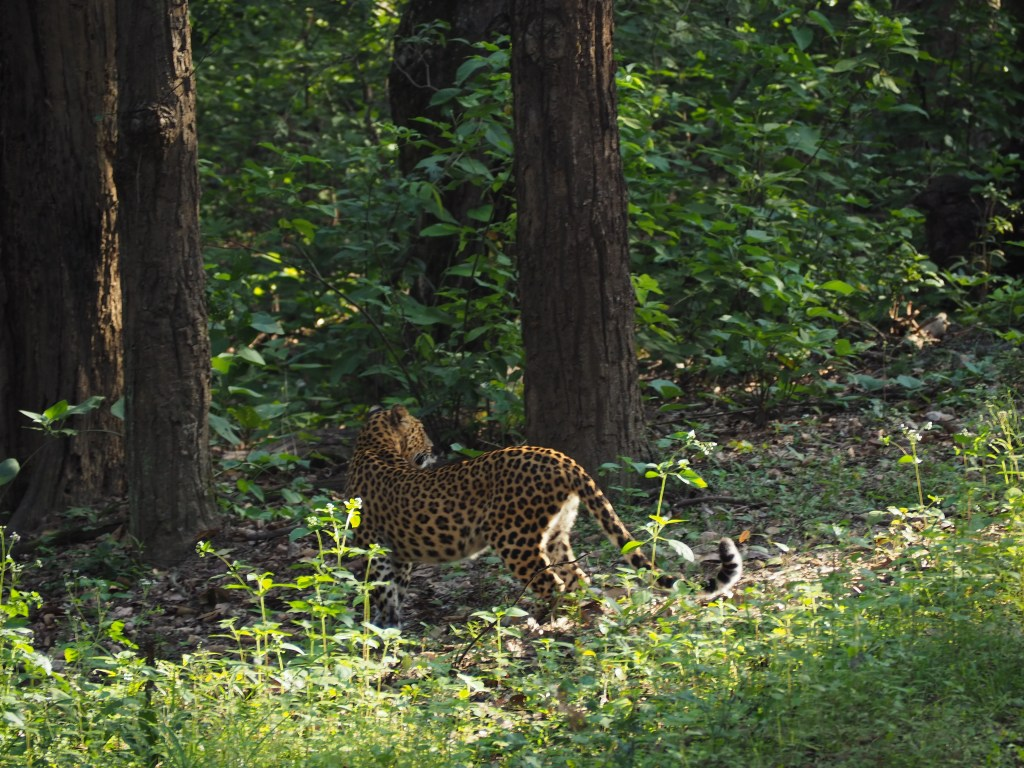 Leopard mother in Kanha National Park India