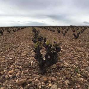 Viñedos en la ruta del vino de Toro en Zamora y Valladolid