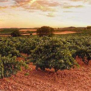 Viñedos en la ruta del Duero a su paso por Pesquera de Duero en la provincia de Valladolid