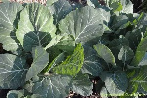 Collards or Collard Greens