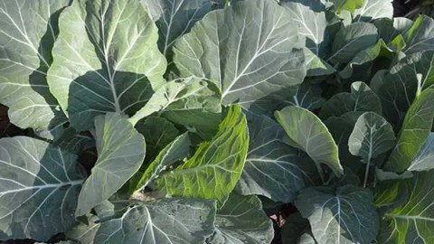 How to Grow and Cook Collard Greens in Texas