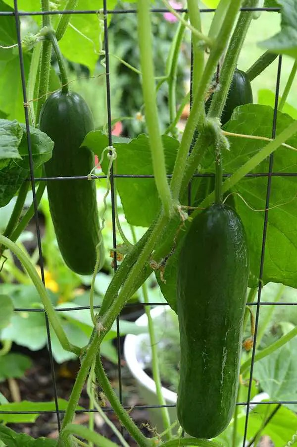 Persian Cucumbers on vine