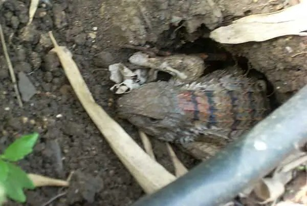 Female Texas Spiny Lizard laying eggs