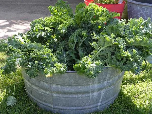 Growing Kale in Texas