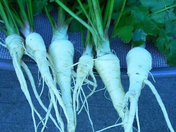 Growing Parsnips in Texas