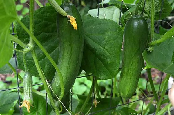 How To Grow Cucumbers in Texas