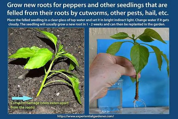 How to Grow New Roots on Damaged Seedlings