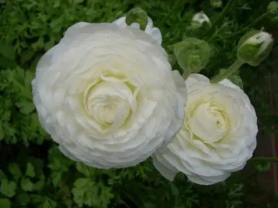 White Ranunculus blooms and buds