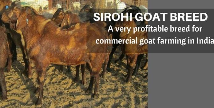 sirohi goat farming