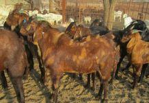 sirohi goat image