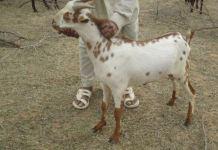 barbari goat image