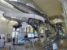 A blue whale skeleton at the Zoological museum in Piter.