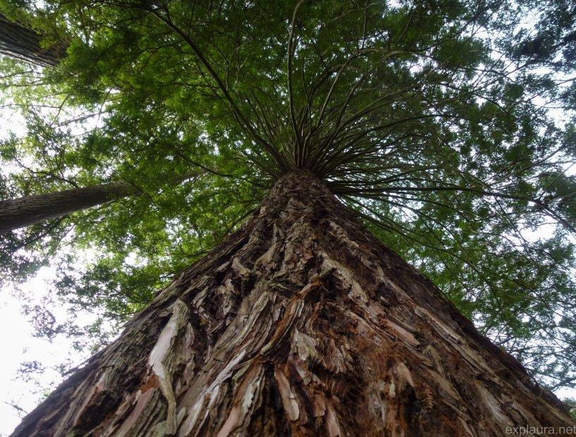 Giant California Redwoods growing in New Zealand.