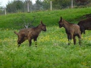 Goaties!!