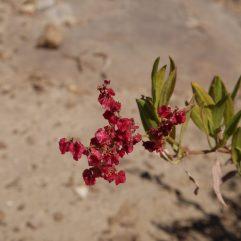 voyage-erythree-senafe-et-sa-region-site-de-qohaito-fleurs-alain-bavoil-02