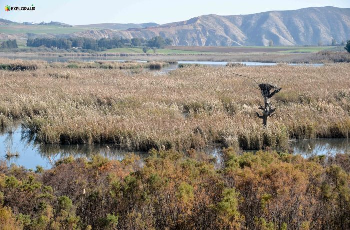 Les différentes roselières sur les rives de Medjerda: des habitats riches et uniques