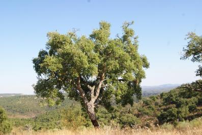 plantes pare-feu: chêne liège