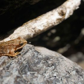Small orange brown frog on a rock