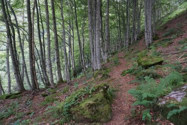Leafy path meandering through a beech wood