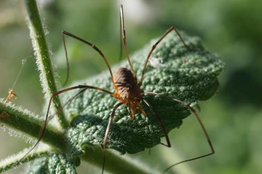 European Harvestman Spider on a leaf, reaching out with its legs.