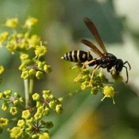 European Paper Wasp on a flower