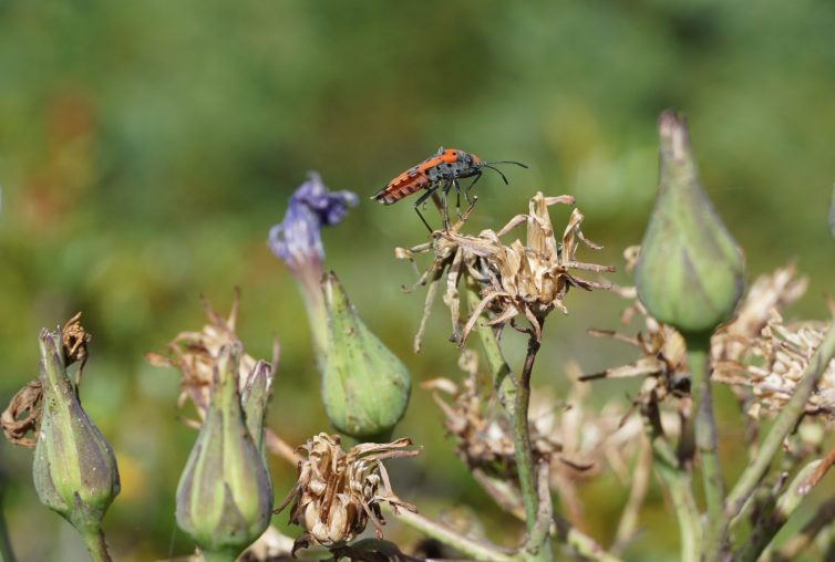 A red and black balancing on a dead flower bud, waving antennae.