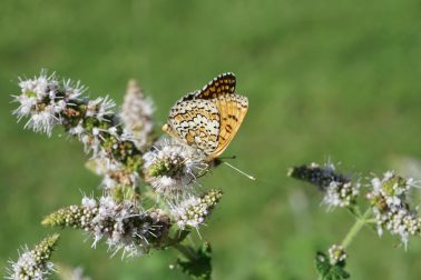 Fritillary butterfly perched on a white flower