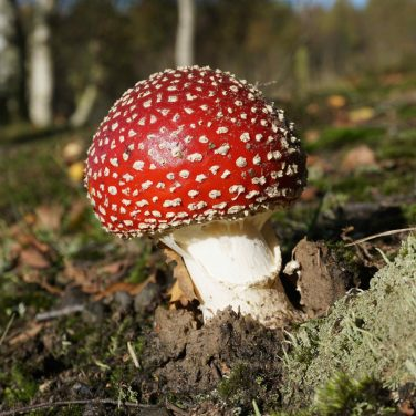 Fly Agaric - Skipwith Common, UK