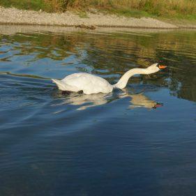 Swan - Rhine, France
