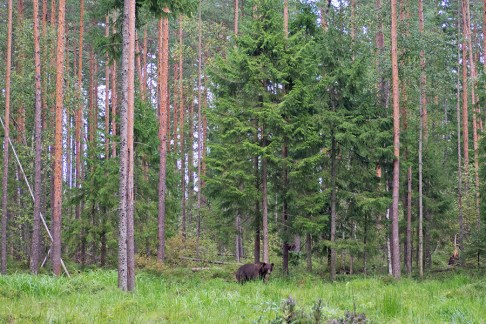 Bear watching Estonia