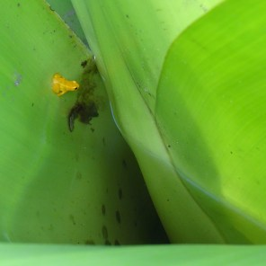 Golden dart frog 2