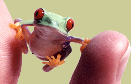 https://i1.wp.com/www.exploratorium.edu/frogs/mainstory/images/redeye_lrg.jpg