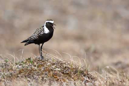 A male American Golden Plover stands on the tundra of the coastal plain of the Arctic National Wildlife Refuge, AK, USA.