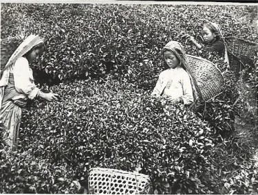 Women picking tea, Nepal